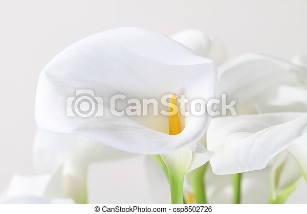 Bunch of Cala Lilies in high key - csp8502726