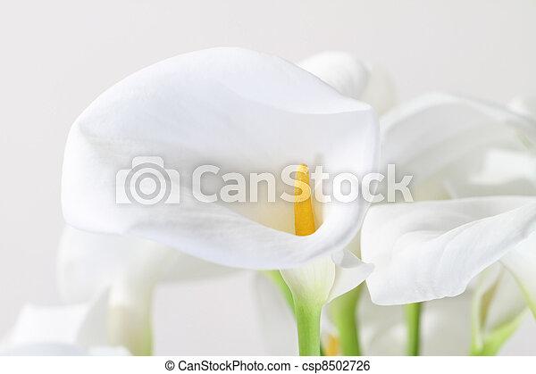 Bunch of Cala Lilies in high key - csp8502726