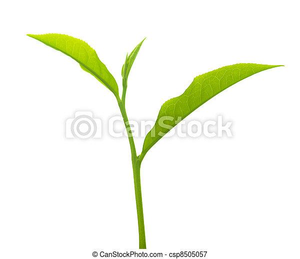 Tea leaves - csp8505057