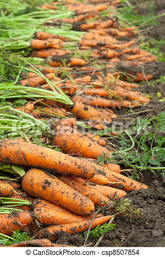 harvest of carrots - csp8507854