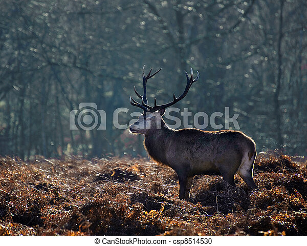 Red deer stag portrait in Autumn Fall Winter forest landscape - csp8514530
