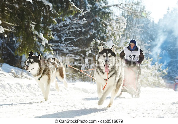 Winter Sled dog racing musher and Siberian husky - csp8516679