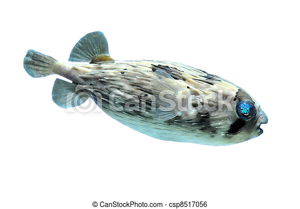 Slender-spined porcupine fish - csp8517056