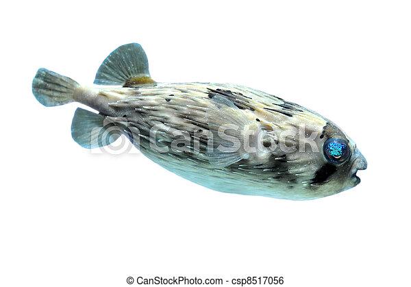 Slender-spined porcupine fish - csp8517056