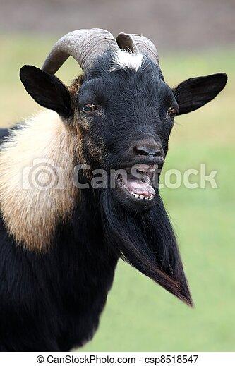 Billy Goat Portrait - csp8518547