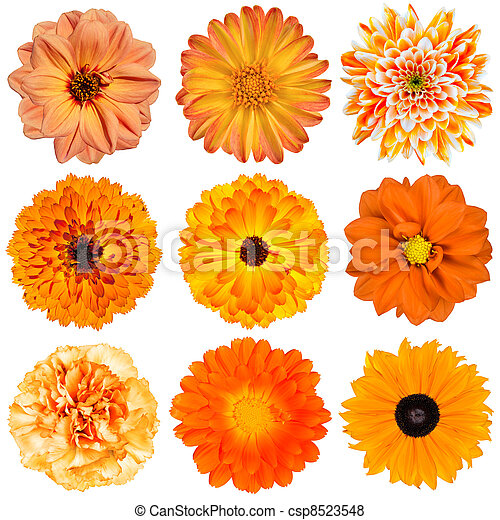 Selection of Orange Flowers Isolated on White - csp8523548