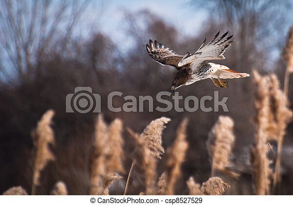 Red-Tailed Hawk Diving On Prey - csp8527529
