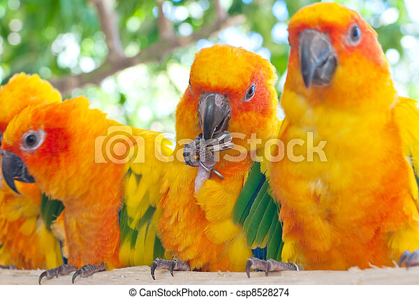 The Sun Parakeet or Sun Conure (Aratinga solstitialis) is a medium-sized brightly colored parrot native to northeastern South America. The adult male and female are similar in appearance, with predomi - csp8528274