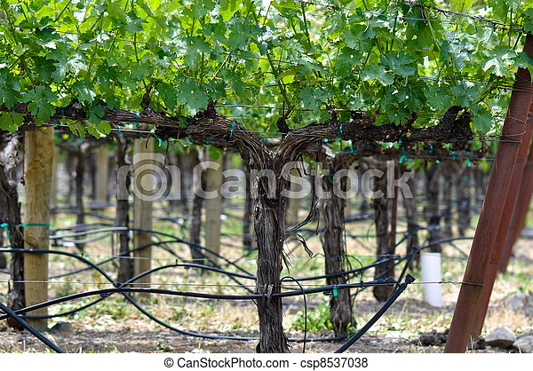 Grapevine in Spring - csp8537038
