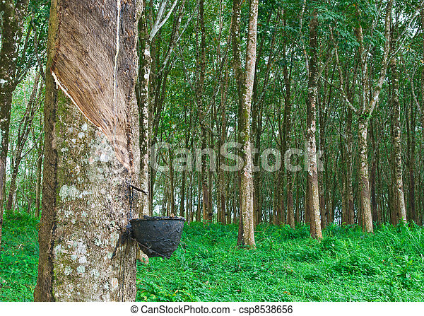 Rubber tree - csp8538656