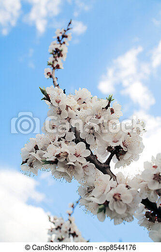 flowering branch of tree is in spring on a background blue sky - csp8544176