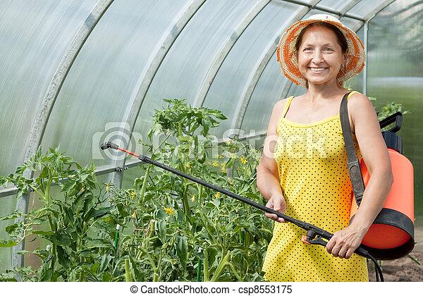 gardener spraying tomato plant   - csp8553175