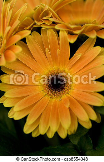 Orange marguerite - csp8554048