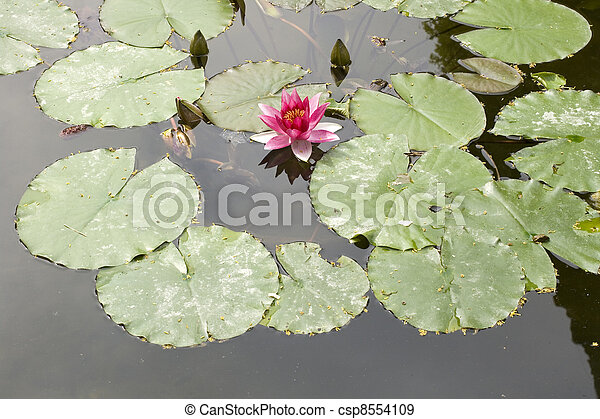 Nymphaea , Water Lilly - csp8554109