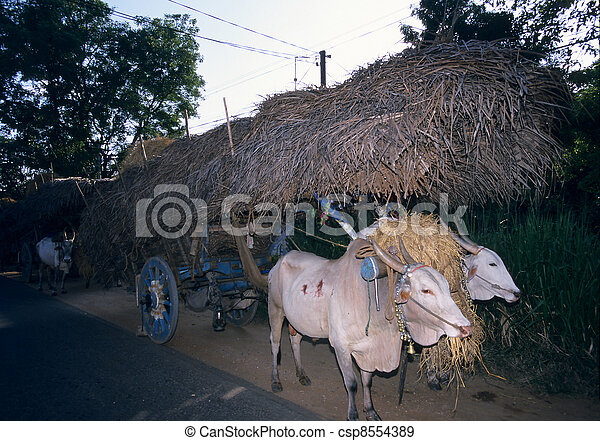 Traditional cows trailor transporting hay, Sri Lanka - csp8554389