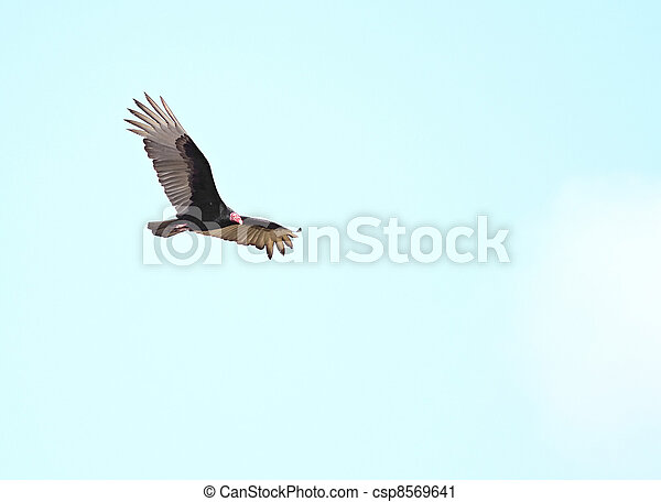 Turkey Vulture (Cathartes aura) - csp8569641