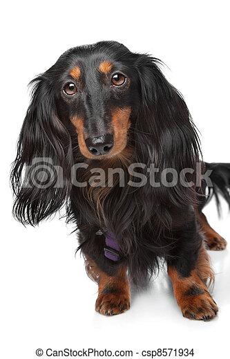 black and tan miniature dachshund - csp8571934