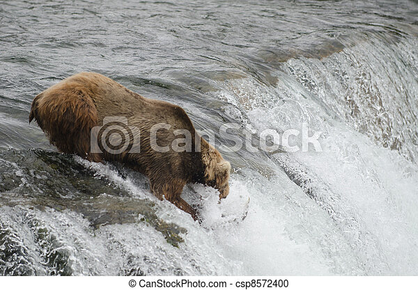 Alaskan brown bear - csp8572400