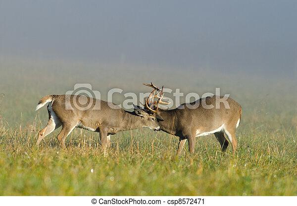 Two whitetail deer bucks sparring - csp8572471
