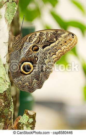 Owl Type Butterfly Perched on a tree limb - csp8580446