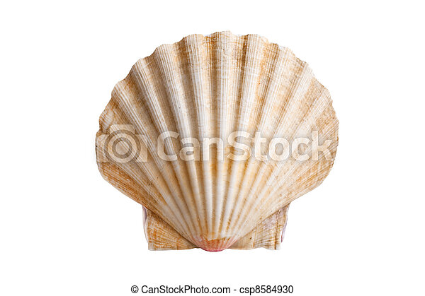 scallops shell - csp8584930