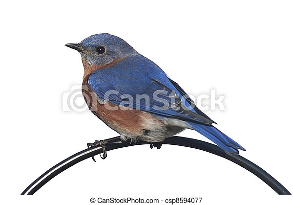 Isolated Bluebird On A Perch - csp8594077