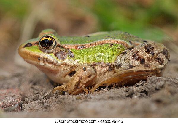 Sunbathing edible frog - csp8596146