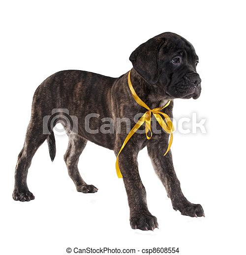 Brindled bullmastiff puppy standing - csp8608554