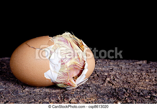 Birth of a baby chick - csp8613020