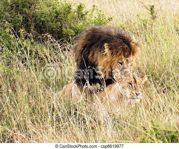 Im genes de africano leones par africano leones apareamiento csp8619977 buscar stock - Leones apareamiento ...