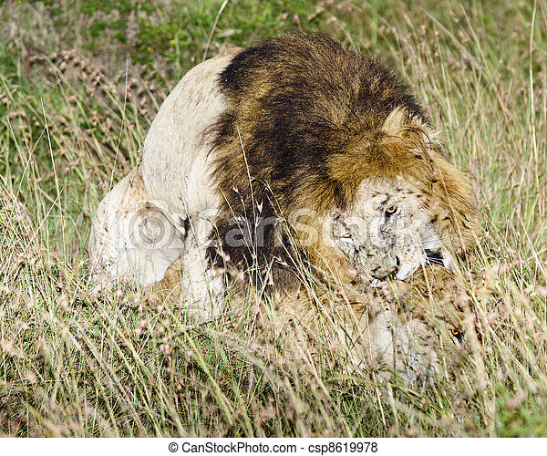 Pel culas de apareamiento leones africano leones apareamiento csp8619978 buscar stock - Leones apareamiento ...