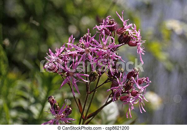 Lychnis flos-cuculi, Ragged Robin - csp8621200