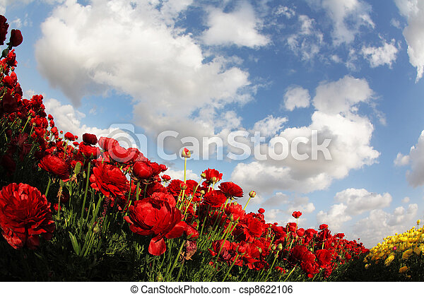 Wonderful field of red spring garden ranunculus - csp8622106