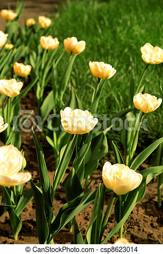 yellow tulips on a flowerbed in a light spring day - csp8623014
