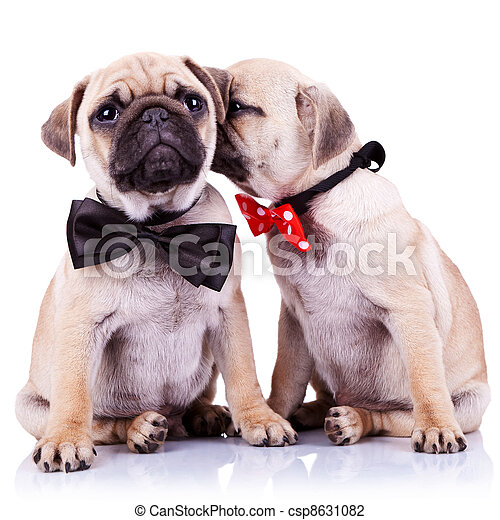 adorable pug puppy dogs couple - csp8631082