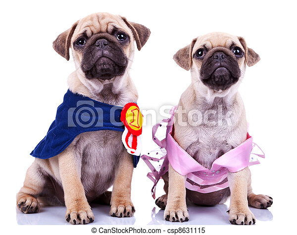 curious princess and champion pug puppy dogs - csp8631115