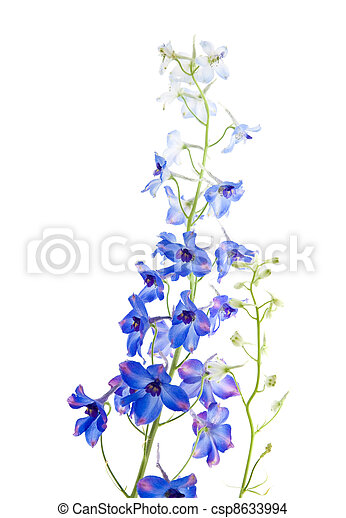 blue delphinium flowering spike - csp8633994
