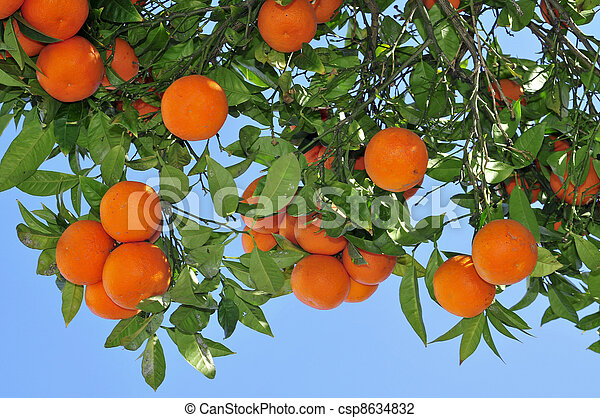 Photo de orange arbre closeup orange arbre entiers fruits csp8634832 recherchez des - Arbre de la clementine ...