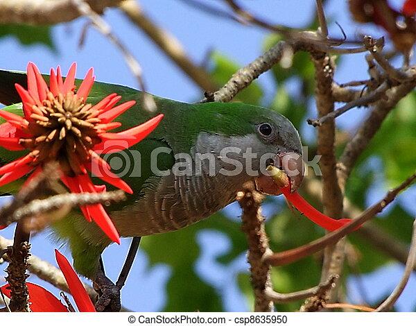 Monk Parakeet. Myiopsitta Monachus - csp8635950