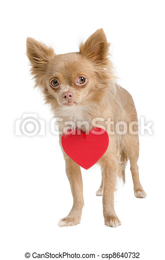 Chihuahua with red heart necklace - csp8640732
