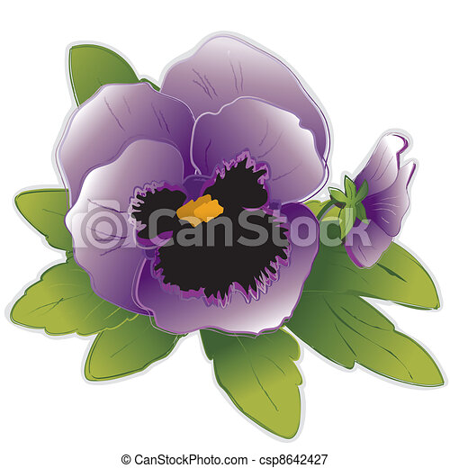 Lavender Pansy Flowers  - csp8642427