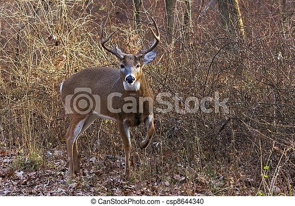 deer/buck raises leg to warn intruder - csp8644340