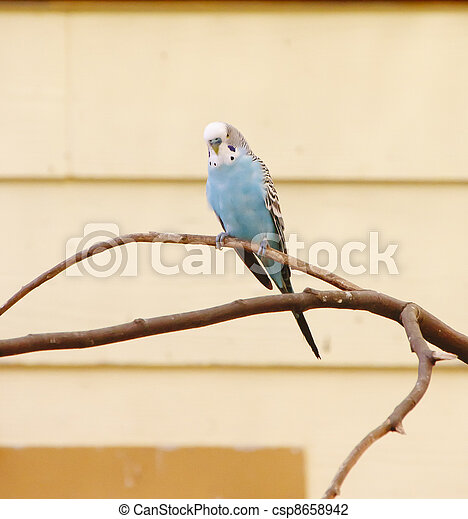 Blue Parakeet on Limb - csp8658942