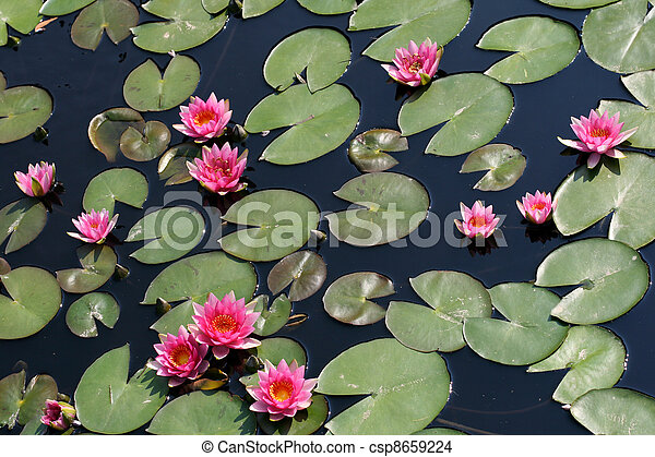 Water lilies in a pond - csp8659224