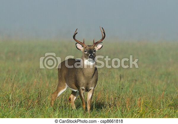 Whitetail deer buck in a foggy field - csp8661818
