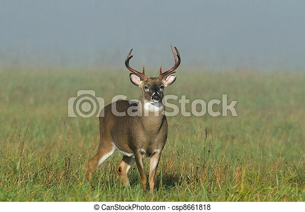 Whitetail deer buck in a foggy field - csp8661818