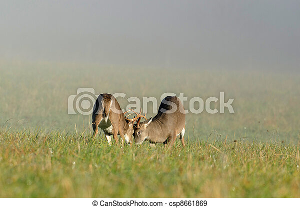 Two whitetail deer bucks sparring - csp8661869