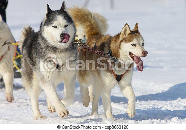 Sled dog Race in Lenk / Switzerland 2012 - csp8663120