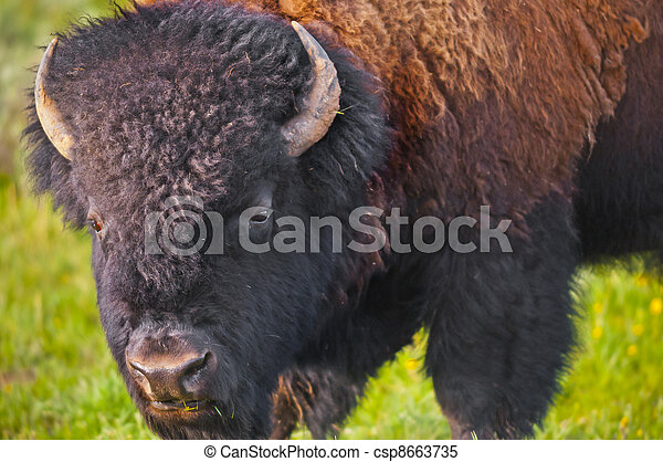 Buffalo close-up - csp8663735