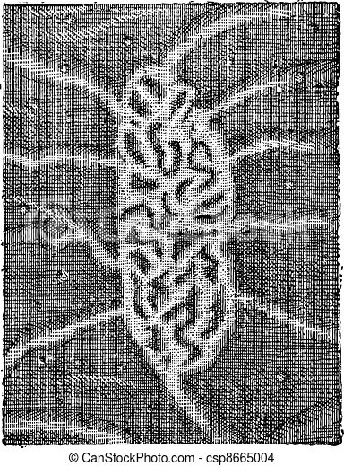 Fig. 6. Intestine, Peyer's patches or aggregated lymphoid nodules, vintage engraving. - csp8665004